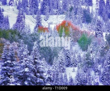 Schnee und farbigen Espen Rückgang der Nadelwald. San Juan, Berge, Colorado Stockbild