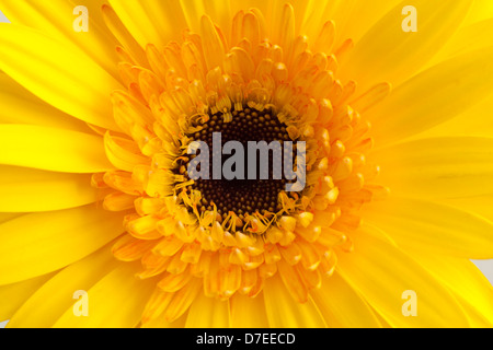 gelbe Gerbera auf schwarzem Hintergrund Stockbild