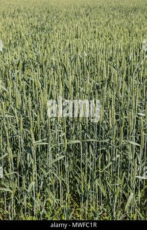 Grünen Korn auf einer großen deutschen Feld Struktur Stockbild