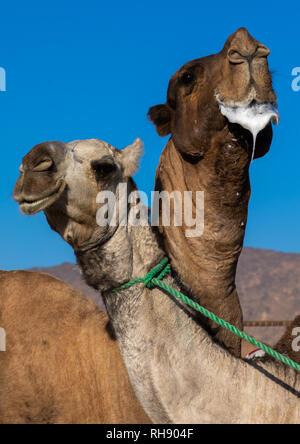Kamel in einer Furche, Najran Provinz Najran, Saudi-Arabien Stockbild