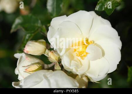 Weiße Rosen, Deutschland, Europa Stockbild