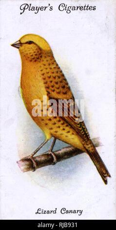Lizard Kanarienvogel. Stockbild