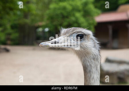 Detail der Strauß den Kopf in den Zoo. Stockbild