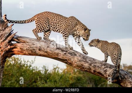 Eine Mutter leopard Panthera Pardus, Spaziergänge hinunter einen Toten auf seine Cub anmelden, Pfote in der Luft. Auf der Suche aus dem Rahmen. Stockbild