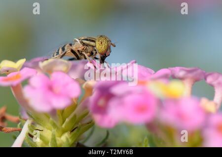 Beschmutzt - Auge hoverfly (Eristalinus megacephalus) nectaring auf Lantana Blumen, Mallorca, Spanien, August. Stockbild