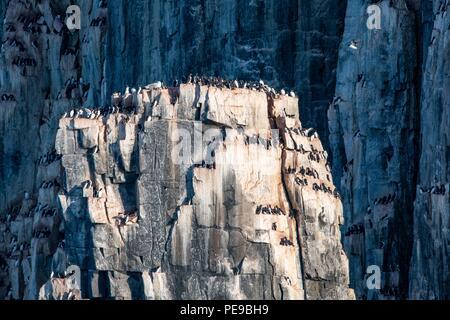 Tausende von dreizehenmöwe Vögel nisten und Fliegen auf den Klippen um Alkefjellet, Norwegen Stockbild