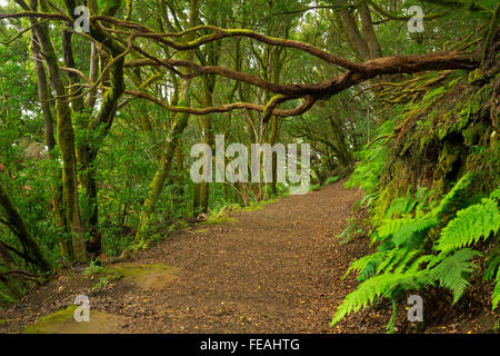 Laurel Wald in das Anaga-Gebirge auf Teneriffa, Kanarische Inseln, Spanien. Stockbild