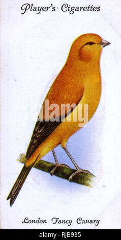 London Fancy Canary. Stockbild
