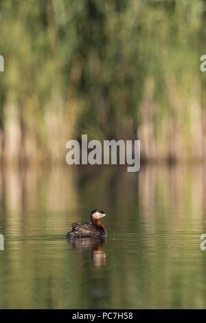 Red-Necked Haubentaucher (Podiceps grisegena) Erwachsenen, Zucht Gefieder, Schwimmen, Donaudelta, Rumänien, Juni Stockbild
