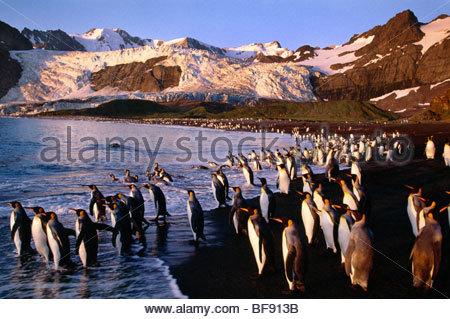King Penguin-Gruppe, die ins Meer, Aptenodytes Patagonicus, South Georgia Island Stockbild