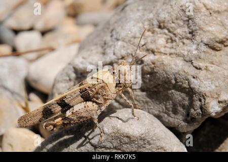 Red-winged Grasshopper (Oedipoda aurea), auch unter den Steinen auf einem trockenen Hang in der Nähe der Küste getarnt, Samos Griechenland, Juli. Stockbild