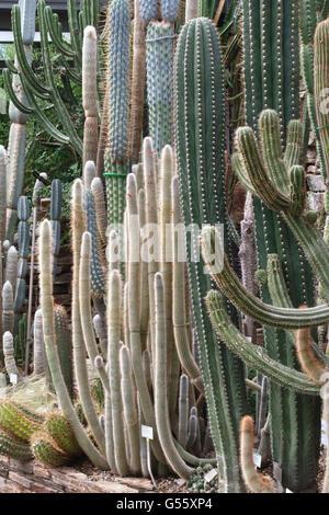 Berlin, Deutschland - der Botanische Garten Berlin-Dahlem.  Kakteen in der wichtigsten tropischen Gewächshaus Stockbild