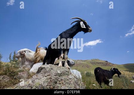 Schwarze Ziege Stockbild