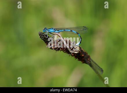 Gemeinsamen Blue Damselfly, Enallagma Cyathigerum, Odonata. Paarung paar. Männlich und weiblich. Stockbild