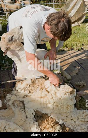 Schafschur außerhalb in einem Feld in West Sussex, England, Vereinigtes Königreich Stockbild