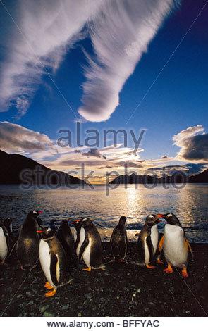 Gentoo Pinguine um Mitternacht, Pygoscelis Papua, South Georgia Island Stockbild