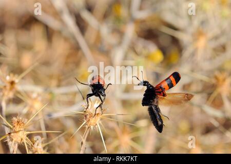 Blister Käfer (Mylabris quadripunctata) schwebt in der Nähe einer anderen vor der Landung in der Nähe. Lesbos, Griechenland. Giftige blister Käfer der Gattung oft Aggregat Stockbild