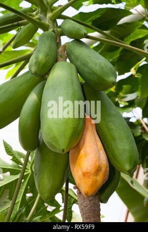 Baum - Melone, Botanischer Garten, Additional-Rights - Clearance-Info - Not-Available Stockbild