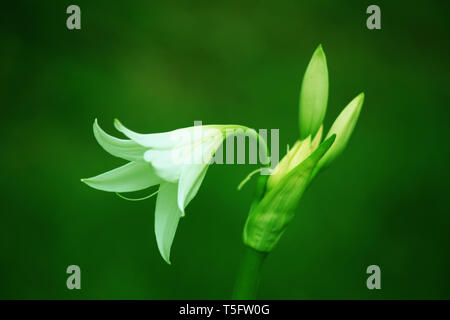 Weiße Blume, Indien, Asien Stockbild