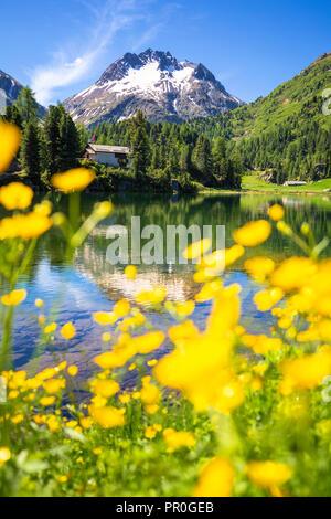 Sommer Blumen am See Cavloc, Forno Tal, Malojapass, Engadin, Graubünden, Schweiz, Europa Stockbild