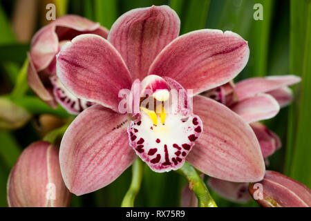Botanik, Orchidee, (Orchidaceae), Blüten, Additional-Rights - Clearance-Info - Not-Available Stockbild