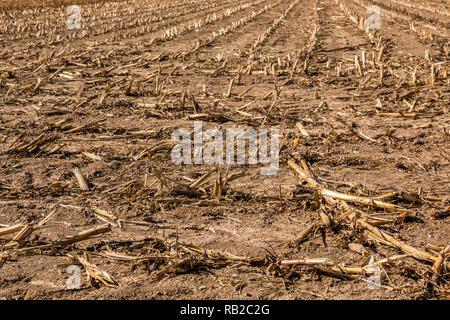 Großen abgeernteten Maisfeld mit brauner Boden Stockbild
