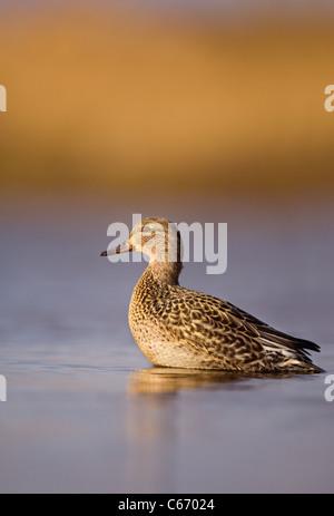 Petrol / Anas Vogelarten Profil einer Warnung Erwachsenfrau im goldenen Morgenlicht. Norfolk, Großbritannien. Stockbild