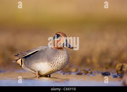 Anas crecca Perfil de un varón adulto en una laguna costera superficial. Norfolk, Reino Unido. Fotógrafo.Andrew Imagen De Stock