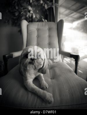 Un pequeño Shih Tzu perro se relaja en un sillón, rodada en blanco y negro. Imagen De Stock