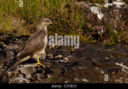 Ratonero Buteo buteo adulto posado sobre una roca en el camino en la brillante luz del sol de invierno. Isle Of Imagen De Stock