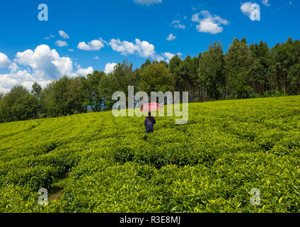 El hombre etíope con un paraguas que trabajan en las plantaciones de té verde, Keffa, Bonga, Etiopía Imagen De Stock