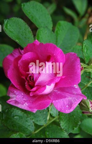 Rosa Silvestre - Austeage Edric floración verano anticuado rose. Imagen De Stock