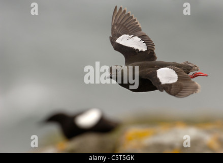 GUILLEMOT Cepphus grylle negro adulto en vuelo como otra sentada sobre las rocas detrás. Islas Shetland (Escocia, Imagen De Stock