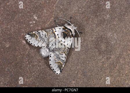 Cetrino gatito Furcula furcula Moth (polilla) macho adulto, Monmouth, Gales, Julio Imagen De Stock