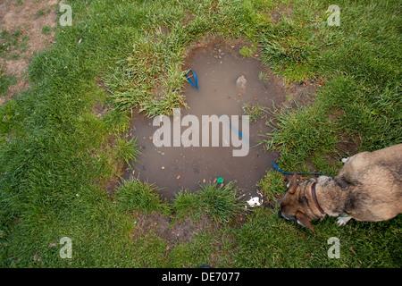 Perro oliendo a hierba y charcos en un parque. Imagen De Stock