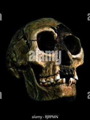 """Homo floresiensis (Hombre de Flores, apodado """"hobbit) es una especie extinta del género Homo. Los restos de un individuo que se habría mantenido aproximadamente 1,1 m (3 pies 7 pulg) en altura fueron descubiertos en 2003 en Liang Bua en la isla de Flores en Indonesia. Este había sido originalmente hominin considera notable para su supervivencia hasta tiempos relativamente recientes, sólo hace 12.000 años. Sin embargo, la más extensa obra cronológica y estratigráfica ha empujado a la datación de las más recientes pruebas de su existencia a 50.000 años atrás. El homo floresiensis material esquelético está fechada desde 60,000 a 10 Imagen De Stock"""