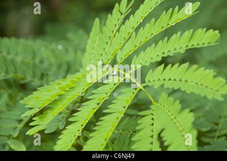Caesalpinia pulcherrima follaje con gota de lluvia Imagen De Stock
