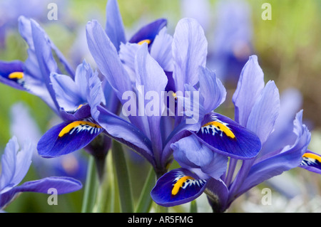Cerca del grupo de Iris reticulata flores Imagen De Stock