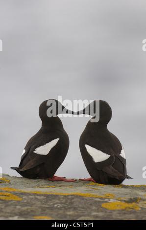 GUILLEMOT NEGRO Cepphus grylle un par de adultos, uno frente a otro sobre un acantilado. Julio. Islas Shetland (Escocia, Imagen De Stock