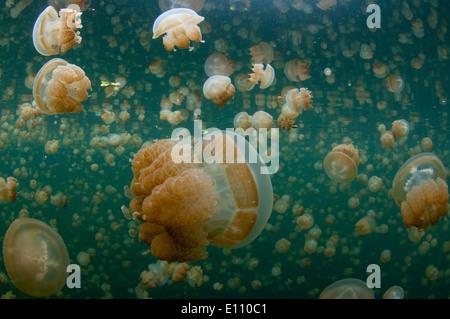 Las medusas de oro cerca de la superficie en Jellyfish Lake Palau (Mastigias) Imagen De Stock