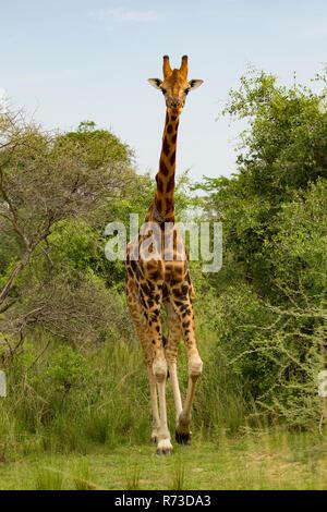 Jirafa de Rothschild (Giraffa camelopardalis rothschildi), Parque Nacional de Murchison Falls, Uganda Imagen De Stock