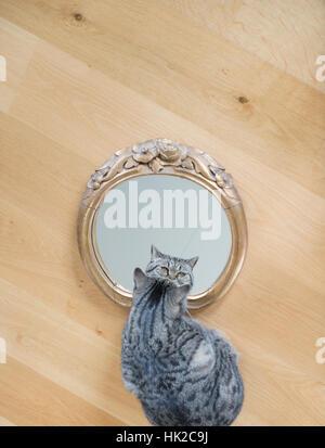 Gato mirando a sí mismo en el espejo. Juguetona mascota que admirar su propio aspecto. Imagen De Stock