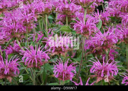 Monarda Violet Queen - hierba bergamota Imagen De Stock