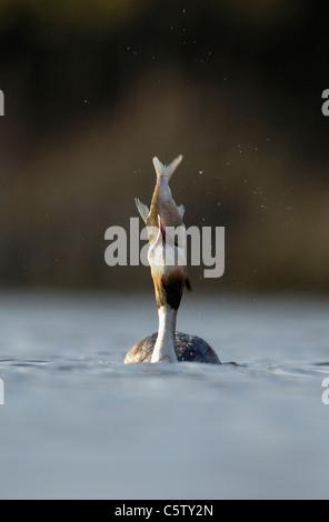 Somormujo LAVANCO Podiceps cristatus un adulto intenta repetidamente, pero luego falla a tragar un gran pez. De Imagen De Stock
