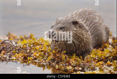 Unión nutria Lutra lutra un adulto húmedo entre las algas en una remota costa Escocesa. Isle Of Mull, Imagen De Stock