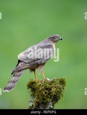 Los jóvenes gavilán (Accipitor nisus) sobre un tocón de árbol de musgo, Escocia Imagen De Stock