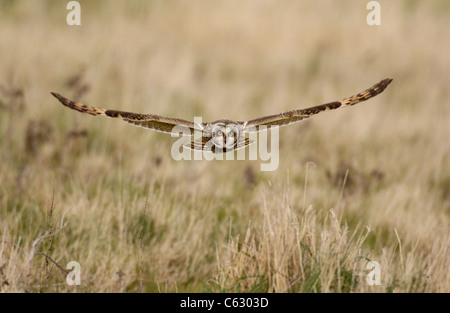 Cortocircuito orejudo Asio flammeus lechuza un adulto en vuelo la caza más yermo North Wales, REINO UNIDO Imagen De Stock