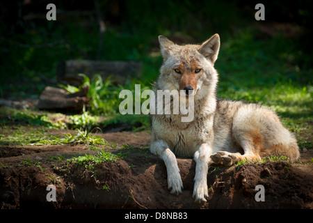 Un hermoso North American el coyote (Canis latrans) mira a la cámara como yace sobre un parche de tierra en Imagen De Stock