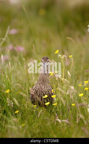 Numenius arquata zarapito retrato de un adulto entre flores silvestres. Julio. Islas Shetland (Escocia, Reino Unido) Imagen De Stock
