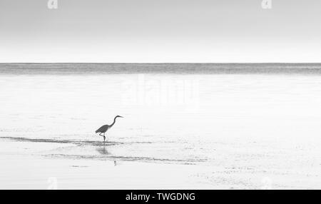 Garceta Blanca en tranquilas aguas costeras en impresionante blanco y negro Imagen De Stock